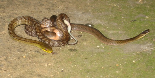 Snakes making love?