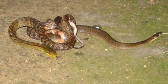 Snakes making love?