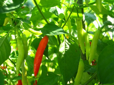 "These little ""Ishigaki"" chillis are also very hot, but aromatic too."
