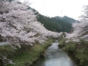 Cherry blossom in the Japanese countryside.