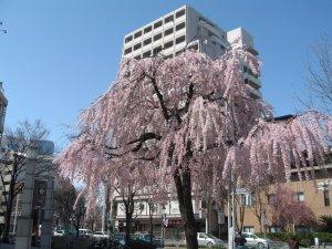 A weeping cherry on a street corner in Nagoya, Japan.