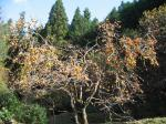 Our persimmon tree, after picking 300 orso!