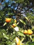 """""""mikan"""" oranges"""